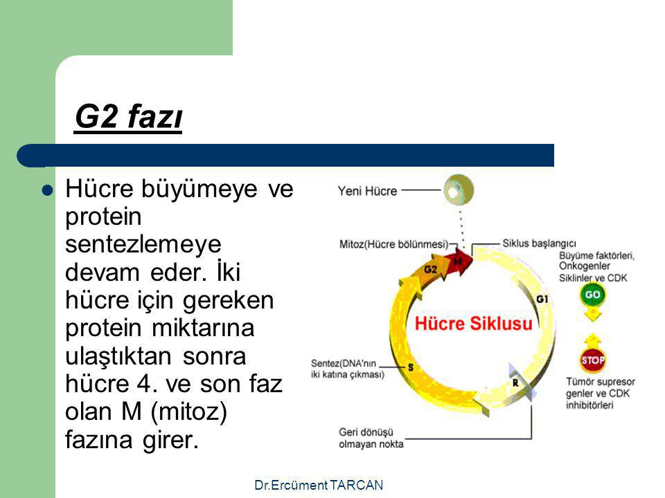 Dr.Ercüment TARCAN G2 fazı Hücre büyümeye ve protein sentezlemeye devam eder. İki hücre için gereken protein miktarına ulaştıktan sonra hücre 4. ve so