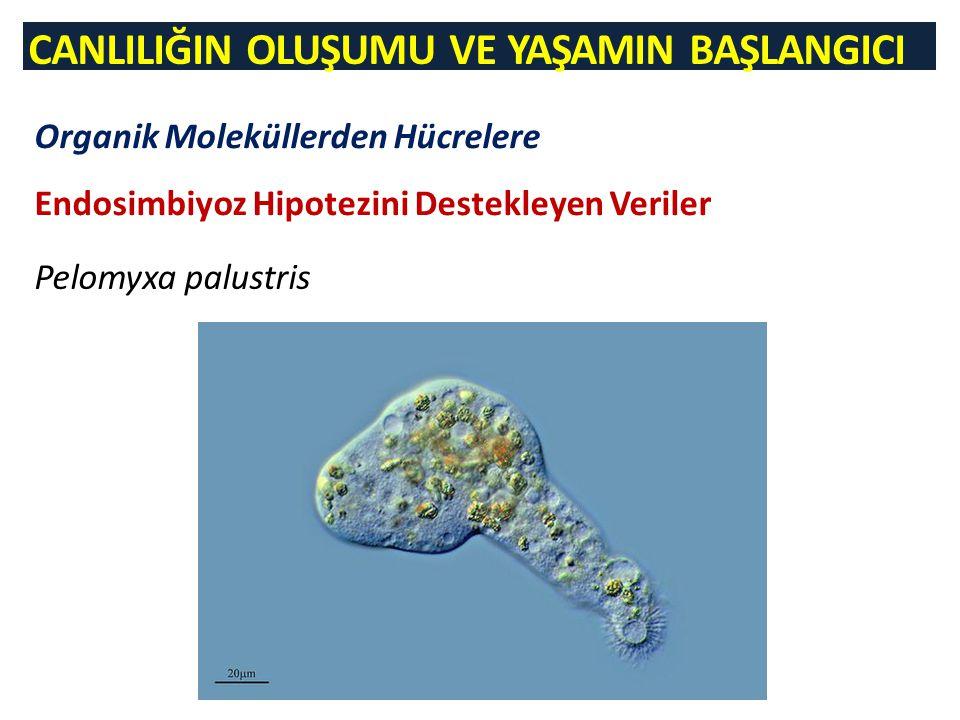 Organik Moleküllerden Hücrelere Endosimbiyoz Hipotezini Destekleyen Veriler Pelomyxa palustris