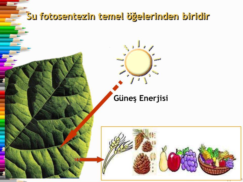Su fotosentezin temel öğelerinden biridir Güneş Enerjisi