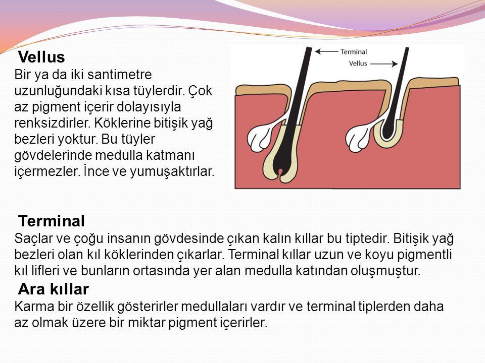 Vellus Bir ya da iki santimetre uzunluğundaki kısa tüylerdir. Çok az pigment içerir dolayısıyla renksizdirler. Köklerine bitişik yağ bezleri yoktur. B
