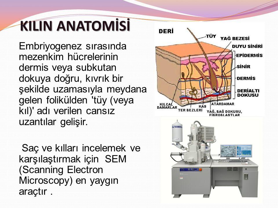 Embriyogenez sırasında mezenkim hücrelerinin dermis veya subkutan dokuya doğru, kıvrık bir şekilde uzamasıyla meydana gelen folikülden tüy (veya kıl) adı verilen cansız uzantılar gelişir.