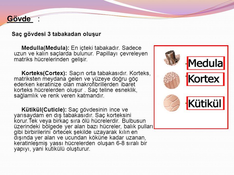 Gövde : Saç gövdesi 3 tabakadan oluşur Medulla(Medula): En içteki tabakadır. Sadece uzun ve kalın saçlarda bulunur. Papillayı çevreleyen matriks hücre
