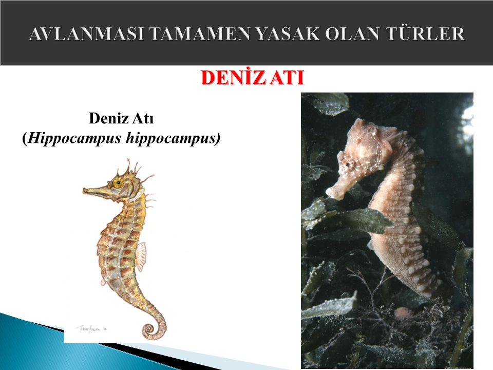 DENİZ ATI Deniz Atı (Hippocampus hippocampus)