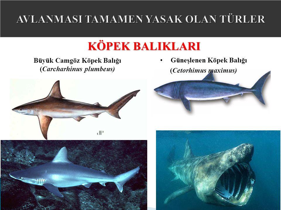 Büyük Camgöz Köpek Balığı (Carcharhinus plumbeus) KÖPEK BALIKLARI Güneşlenen Köpek Balığı (Cetorhimus maximus)