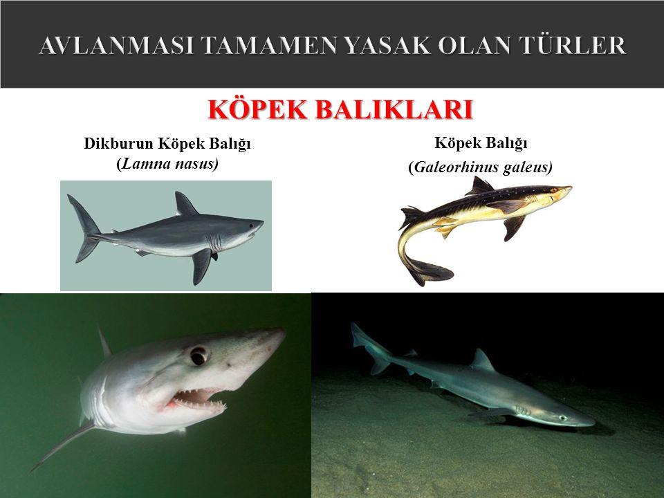 KÖPEK BALIKLARI Dikburun Köpek Balığı (Lamna nasus) Köpek Balığı (Galeorhinus galeus)