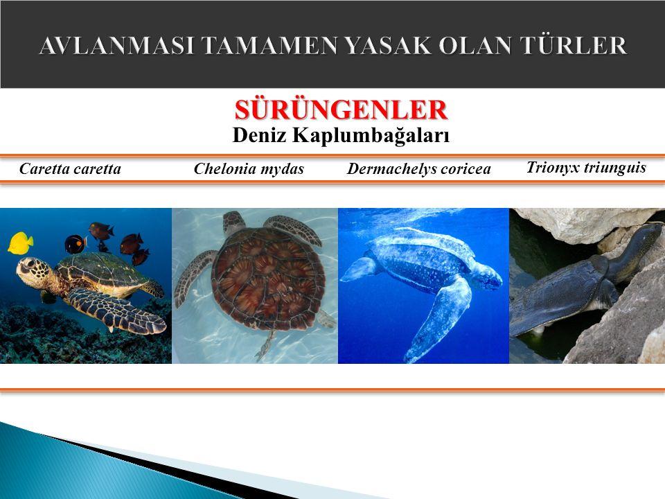 SÜRÜNGENLER Deniz Kaplumbağaları Caretta carettaChelonia mydasDermachelys coricea Trionyx triunguis