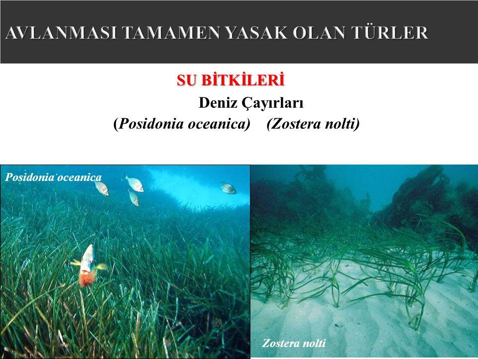Deniz Çayırları SU BİTKİLERİ Posidonia oceanica Zostera nolti (Zostera nolti)(Posidonia oceanica)