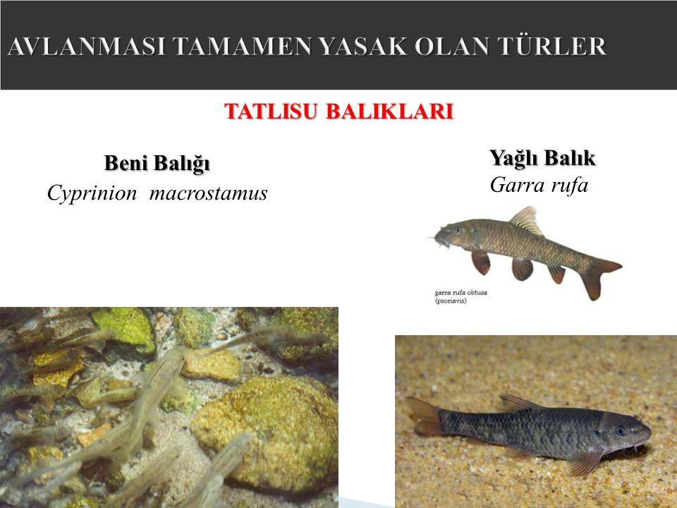 TATLISU BALIKLARI Yağlı Balık Garra rufa Beni Balığı Cyprinion macrostamus