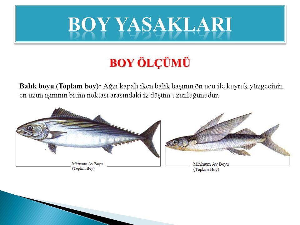 BOY ÖLÇÜMÜ Balık boyu (Toplam boy): Ağzı kapalı iken balık başının ön ucu ile kuyruk yüzgecinin en uzun ışınının bitim noktası arasındaki iz düşüm uzunluğunudur.
