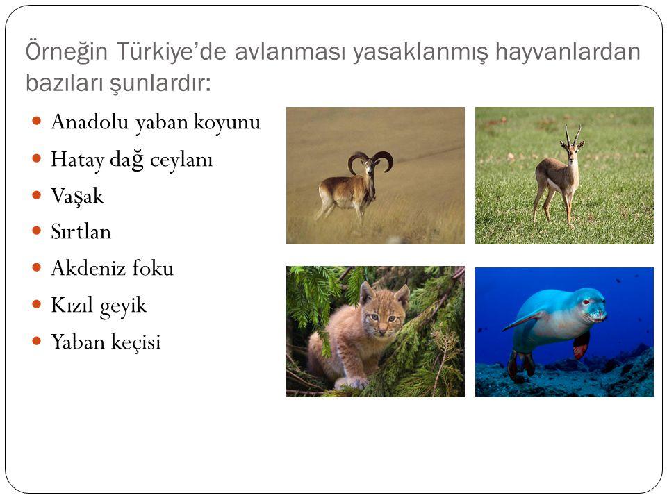 Örneğin Türkiye'de avlanması yasaklanmış hayvanlardan bazıları şunlardır: Anadolu yaban koyunu Hatay da ğ ceylanı Va ş ak Sırtlan Akdeniz foku Kızıl geyik Yaban keçisi