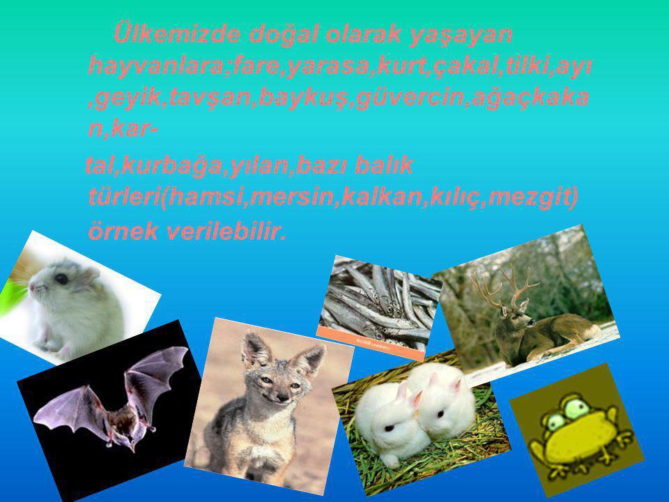 Ülkemizde doğal olarak yaşayan hayvanlara;fare,yarasa,kurt,çakal,tilki,ayı,geyik,tavşan,baykuş,güvercin,ağaçkaka n,kar- tal,kurbağa,yılan,bazı balık t