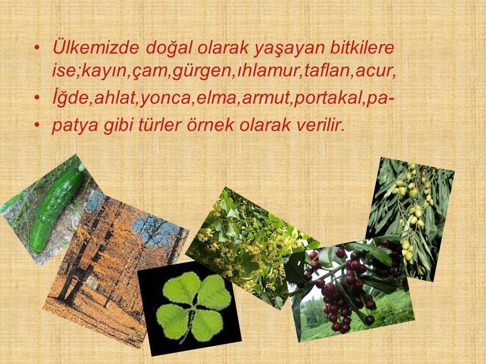 Ülkemizde doğal olarak yaşayan bitkilere ise;kayın,çam,gürgen,ıhlamur,taflan,acur, İğde,ahlat,yonca,elma,armut,portakal,pa- patya gibi türler örnek ol