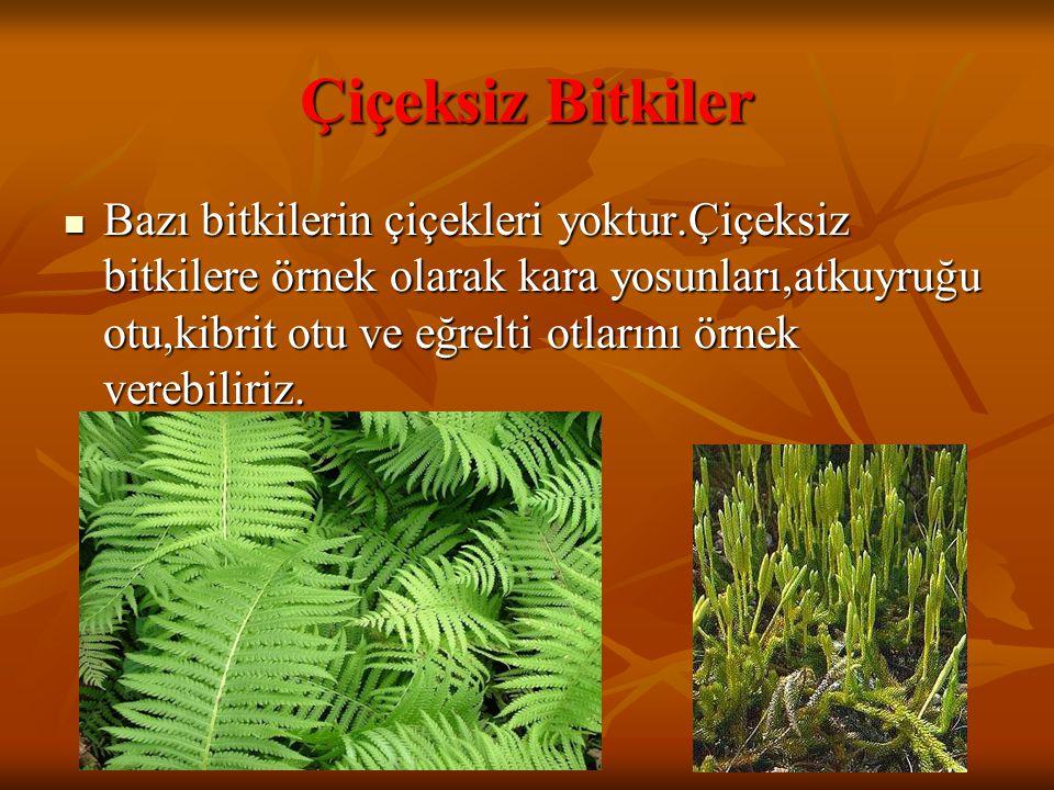 Çiçeksiz Bitkiler Bazı bitkilerin çiçekleri yoktur.Çiçeksiz bitkilere örnek olarak kara yosunları,atkuyruğu otu,kibrit otu ve eğrelti otlarını örnek v