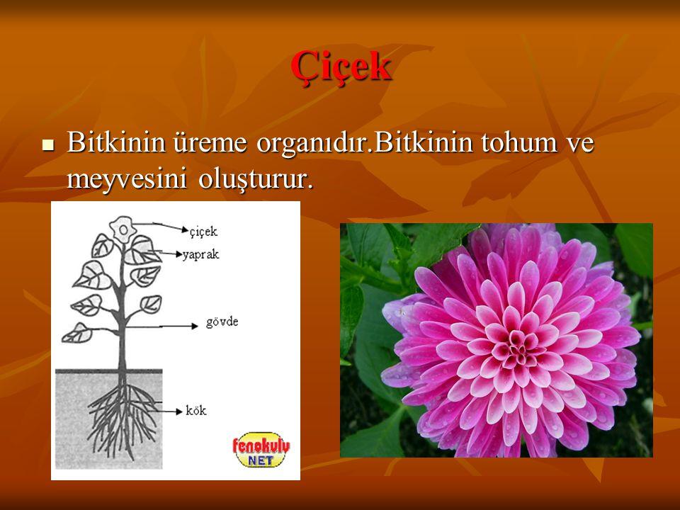 Çiçek Bitkinin üreme organıdır.Bitkinin tohum ve meyvesini oluşturur. Bitkinin üreme organıdır.Bitkinin tohum ve meyvesini oluşturur.
