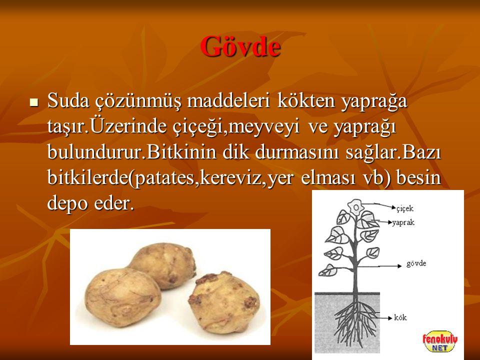 Gövde Suda çözünmüş maddeleri kökten yaprağa taşır.Üzerinde çiçeği,meyveyi ve yaprağı bulundurur.Bitkinin dik durmasını sağlar.Bazı bitkilerde(patates