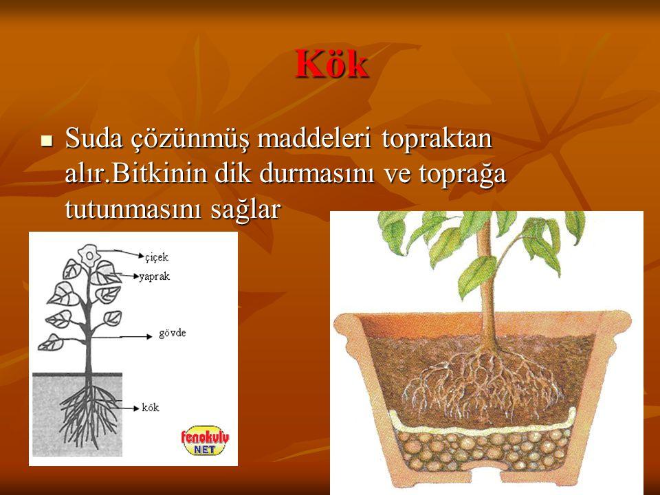 Kök Suda çözünmüş maddeleri topraktan alır.Bitkinin dik durmasını ve toprağa tutunmasını sağlar Suda çözünmüş maddeleri topraktan alır.Bitkinin dik du