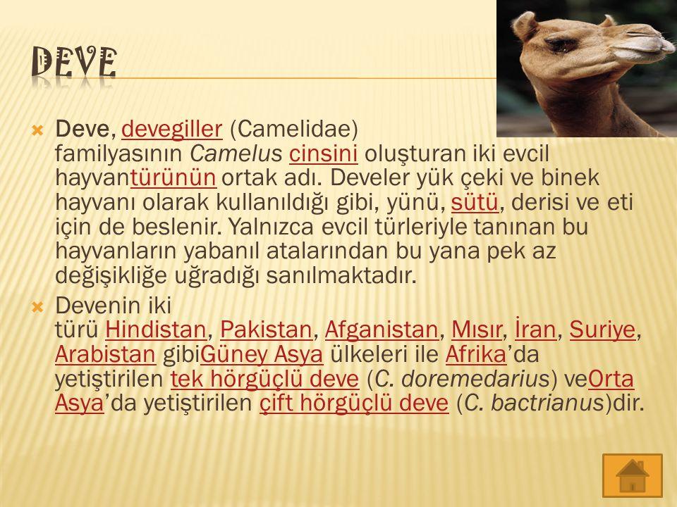  Deve, devegiller (Camelidae) familyasının Camelus cinsini oluşturan iki evcil hayvantürünün ortak adı. Develer yük çeki ve binek hayvanı olarak kull