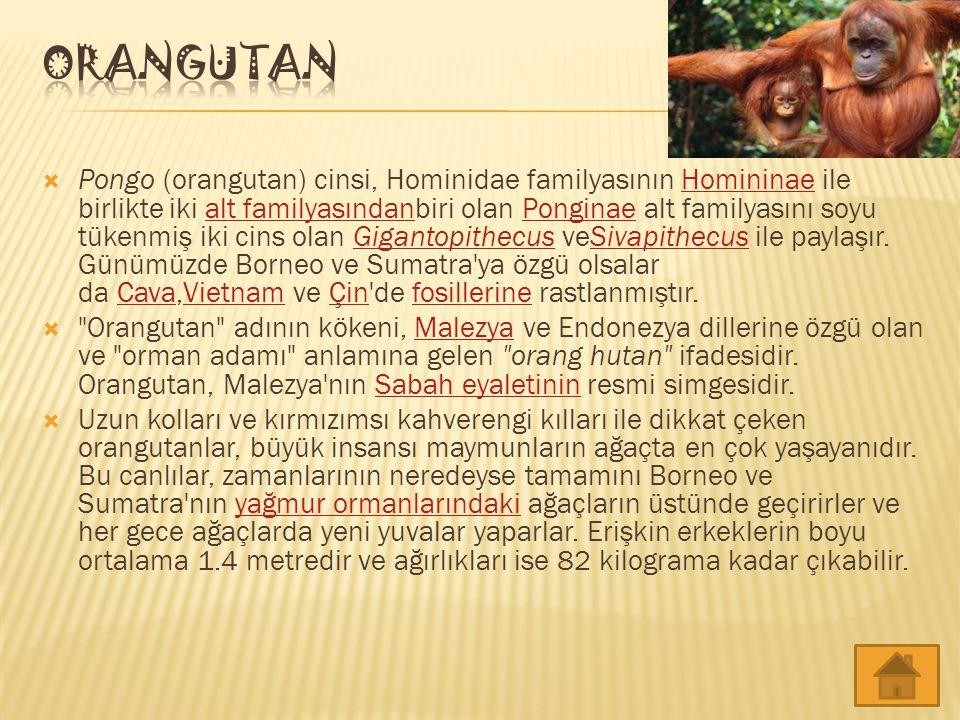  Pongo (orangutan) cinsi, Hominidae familyasının Homininae ile birlikte iki alt familyasındanbiri olan Ponginae alt familyasını soyu tükenmiş iki cin