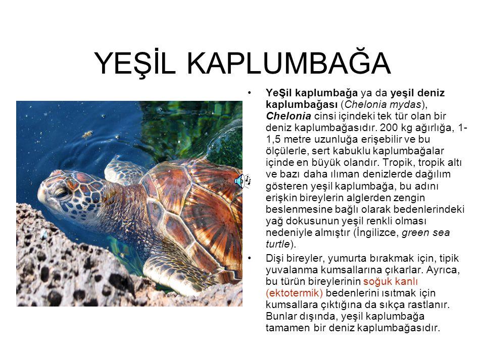 YEŞİL KAPLUMBAĞA YeŞil kaplumbağa ya da yeşil deniz kaplumbağası (Chelonia mydas), Chelonia cinsi içindeki tek tür olan bir deniz kaplumbağasıdır. 200
