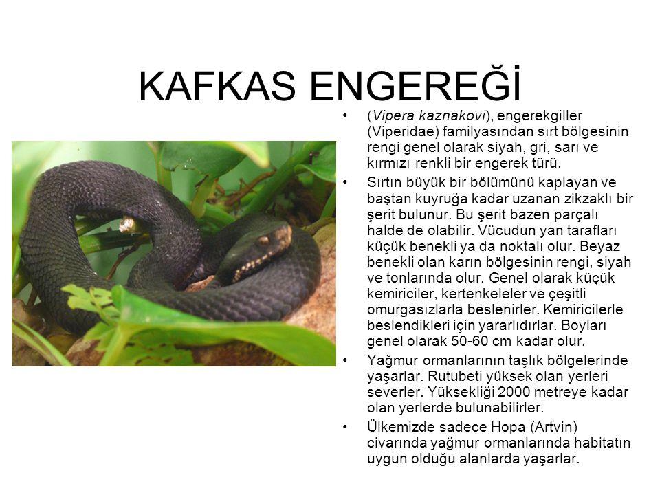 KAFKAS ENGEREĞİ (Vipera kaznakovi), engerekgiller (Viperidae) familyasından sırt bölgesinin rengi genel olarak siyah, gri, sarı ve kırmızı renkli bir
