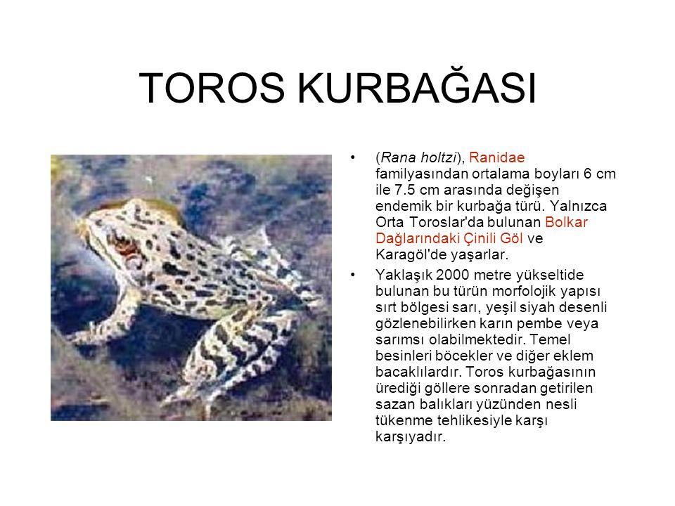 TOROS KURBAĞASI (Rana holtzi), Ranidae familyasından ortalama boyları 6 cm ile 7.5 cm arasında değişen endemik bir kurbağa türü. Yalnızca Orta Torosla