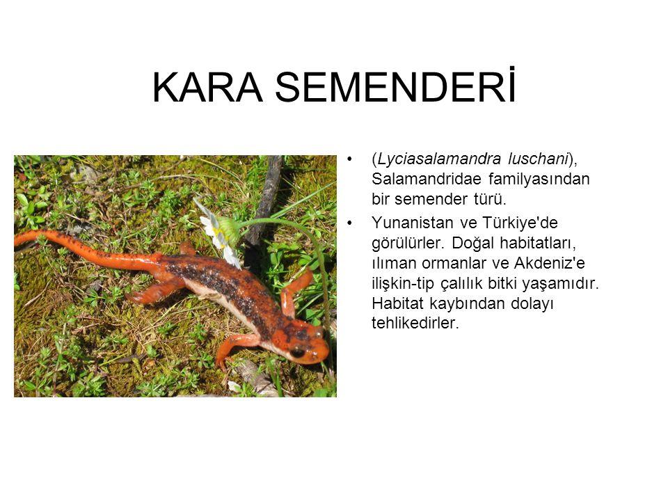 KARA SEMENDERİ (Lyciasalamandra luschani), Salamandridae familyasından bir semender türü. Yunanistan ve Türkiye'de görülürler. Doğal habitatları, ılım