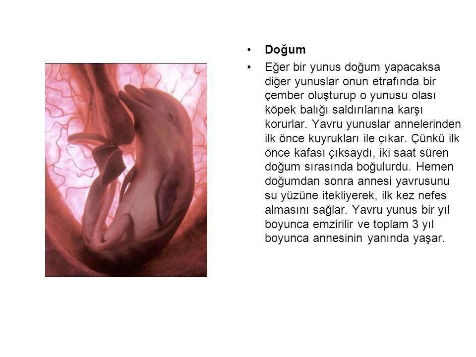 Doğum Eğer bir yunus doğum yapacaksa diğer yunuslar onun etrafında bir çember oluşturup o yunusu olası köpek balığı saldırılarına karşı korurlar. Yavr