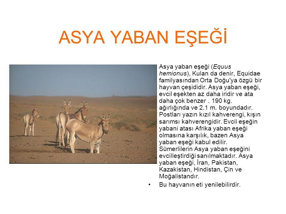 ASYA YABAN EŞEĞİ Asya yaban eşeği (Equus hemionus), Kulan da denir, Equidae familyasından Orta Doğu'ya özgü bir hayvan çeşididir. Asya yaban eşeği, ev