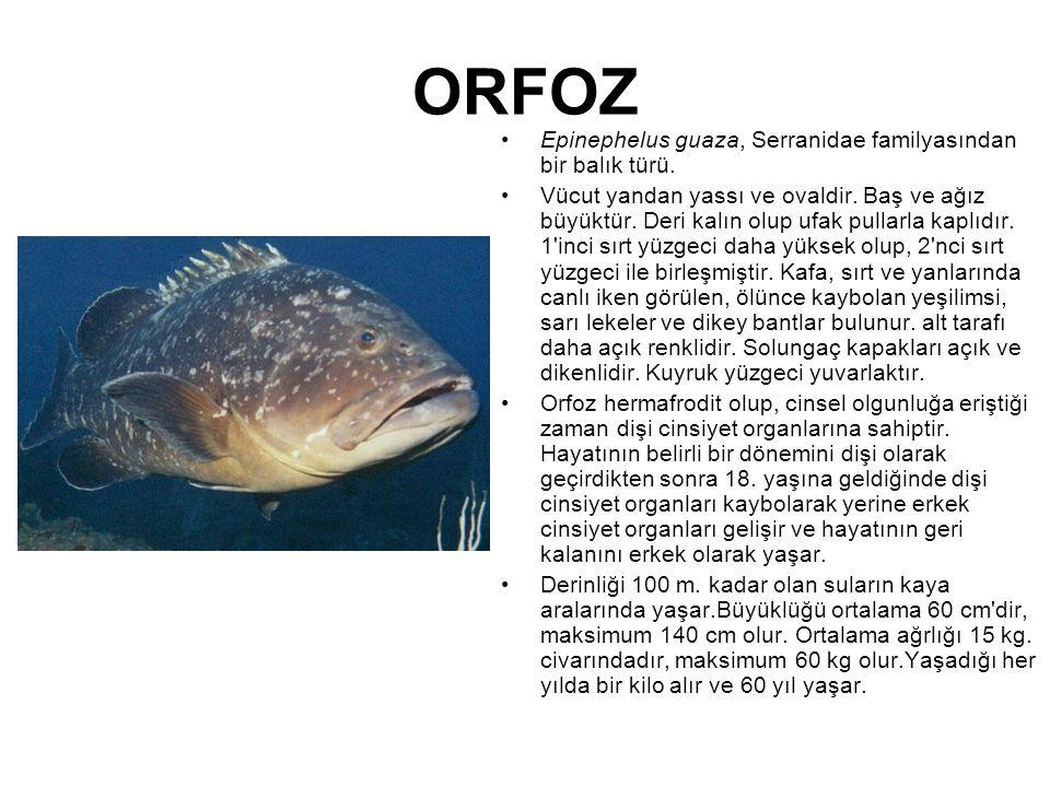ORFOZ Epinephelus guaza, Serranidae familyasından bir balık türü. Vücut yandan yassı ve ovaldir. Baş ve ağız büyüktür. Deri kalın olup ufak pullarla k