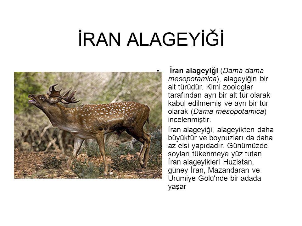 İRAN ALAGEYİĞİ İran alageyiği (Dama dama mesopotamica), alageyiğin bir alt türüdür. Kimi zoologlar tarafından ayrı bir alt tür olarak kabul edilmemiş