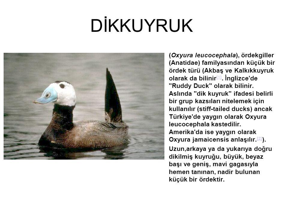 DİKKUYRUK (Oxyura leucocephala), ördekgiller (Anatidae) familyasından küçük bir ördek türü (Akbaş ve Kalkıkkuyruk olarak da bilinir [1]. İnglizce'de