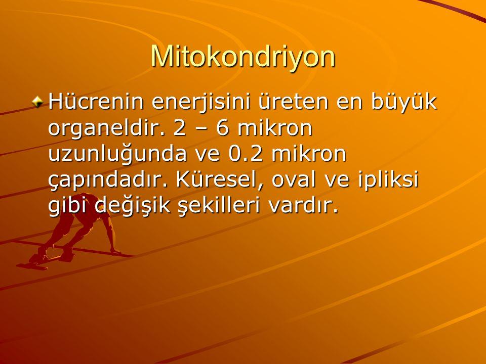 Mitokondriyon Hücrenin enerjisini üreten en büyük organeldir. 2 – 6 mikron uzunluğunda ve 0.2 mikron çapındadır. Küresel, oval ve ipliksi gibi değişik