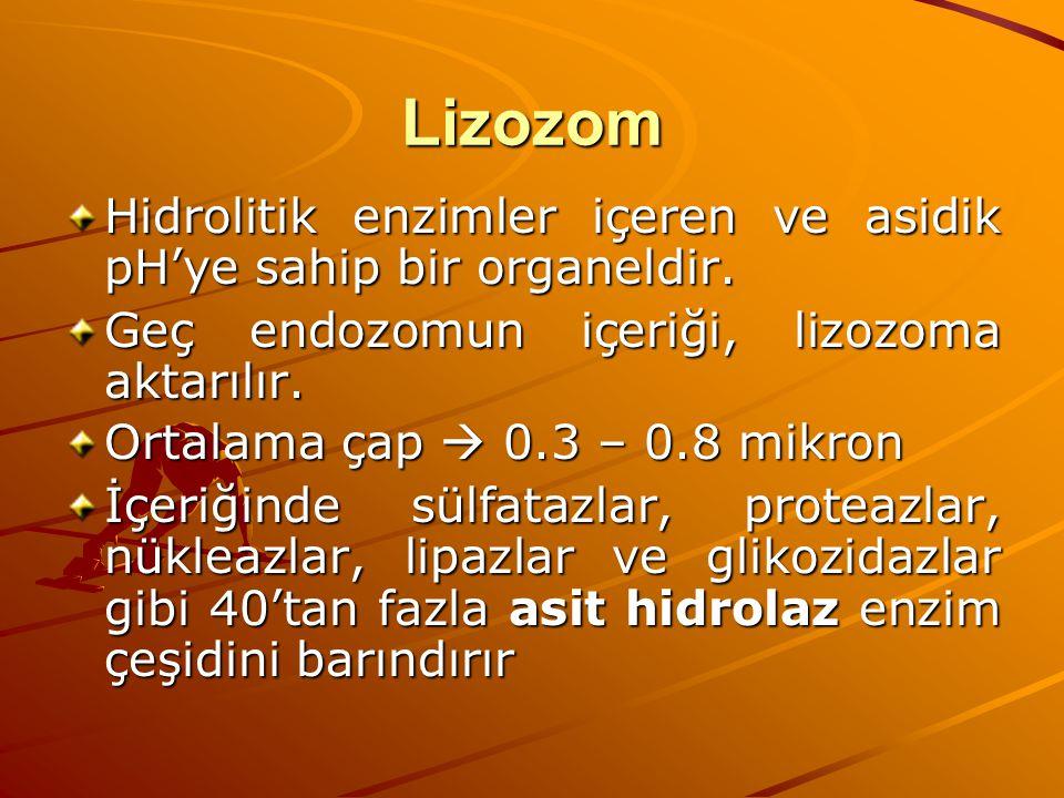 Lizozom Hidrolitik enzimler içeren ve asidik pH'ye sahip bir organeldir. Geç endozomun içeriği, lizozoma aktarılır. Ortalama çap  0.3 – 0.8 mikron İç