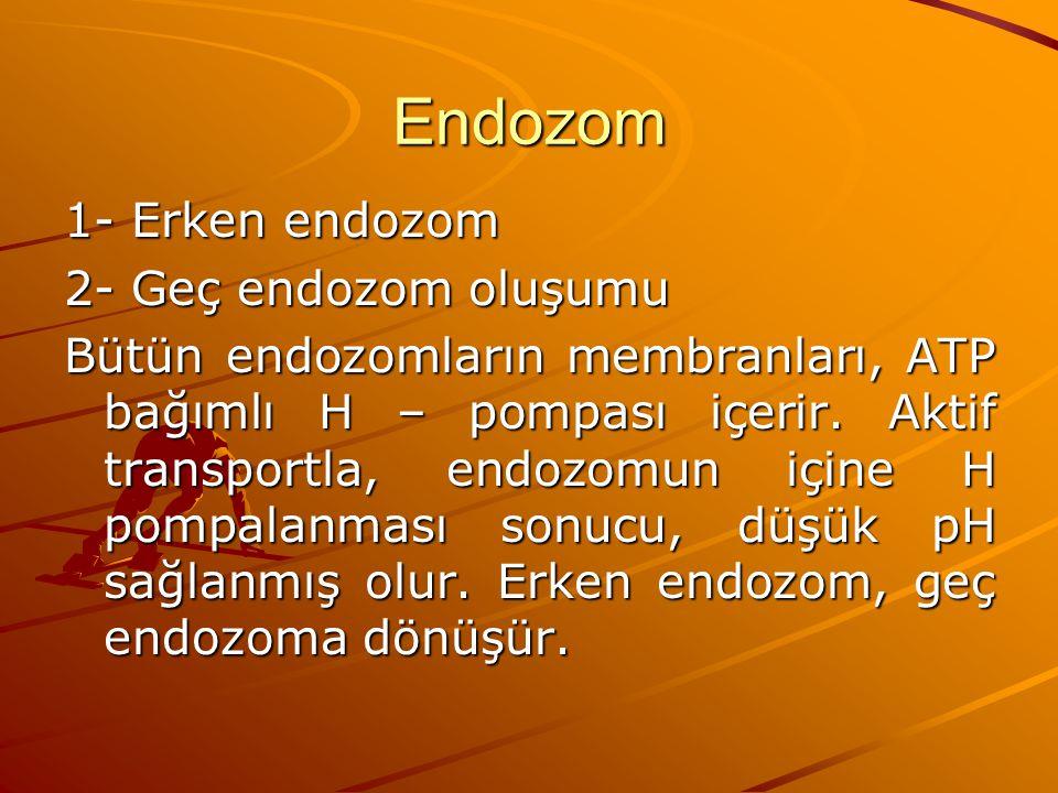 Endozom 1- Erken endozom 2- Geç endozom oluşumu Bütün endozomların membranları, ATP bağımlı H – pompası içerir. Aktif transportla, endozomun içine H p