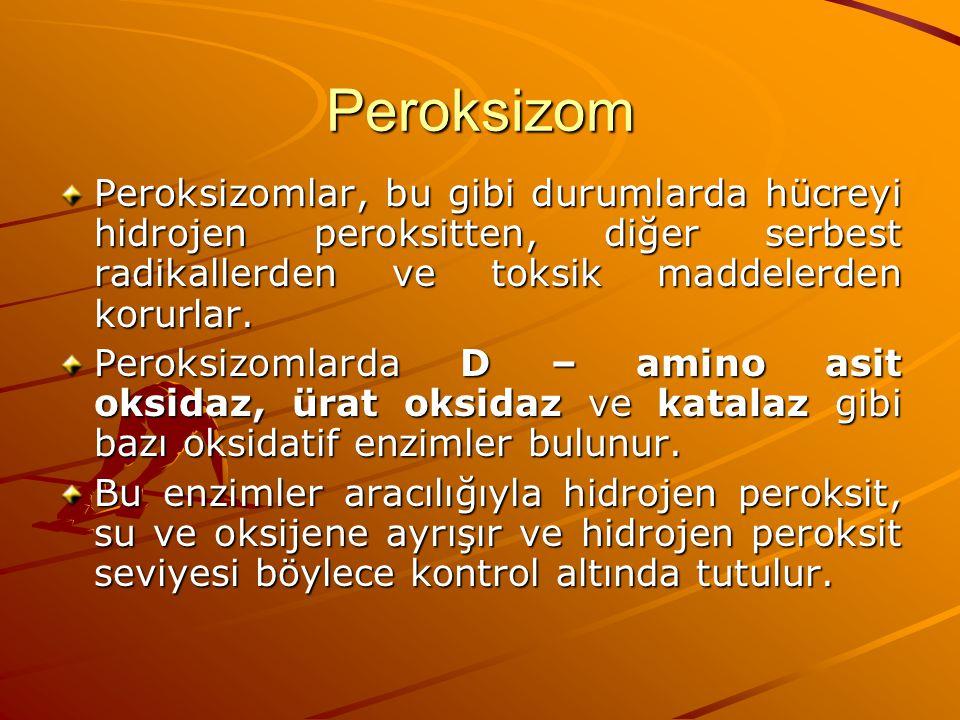 Peroksizom Peroksizomlar, bu gibi durumlarda hücreyi hidrojen peroksitten, diğer serbest radikallerden ve toksik maddelerden korurlar. Peroksizomlarda