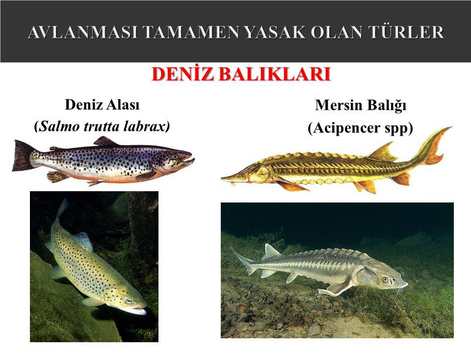 Deniz Alası (Salmo trutta labrax) DENİZ BALIKLARI Mersin Balığı (Acipencer spp)
