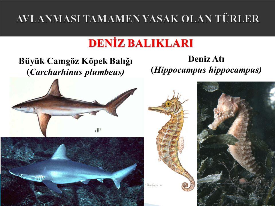 Büyük Camgöz Köpek Balığı (Carcharhinus plumbeus) DENİZ BALIKLARI Deniz Atı (Hippocampus hippocampus)