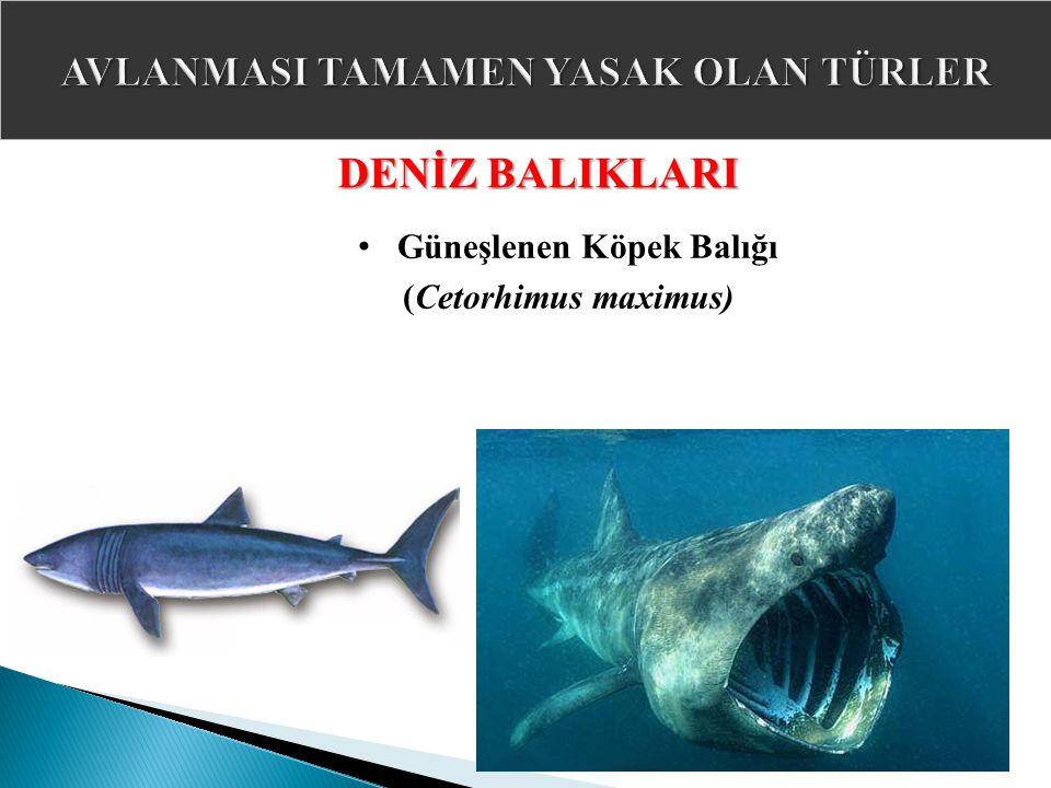 DENİZ BALIKLARI Güneşlenen Köpek Balığı (Cetorhimus maximus)