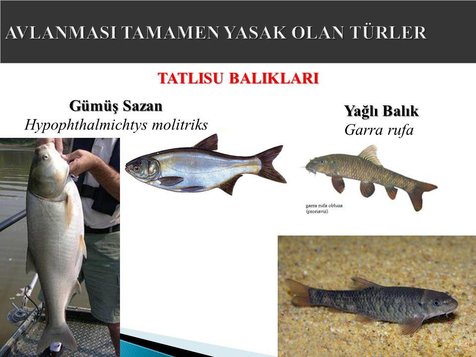 TATLISU BALIKLARI Gümüş Sazan Hypophthalmichtys molitriks Yağlı Balık Garra rufa