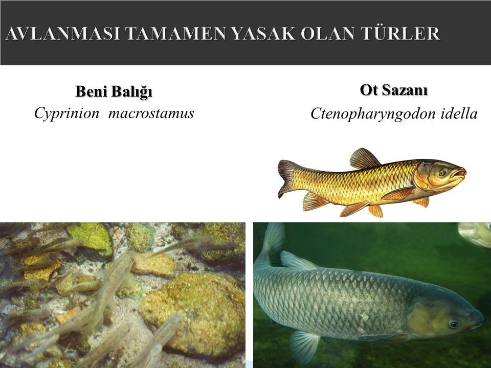 Beni Balığı Cyprinion macrostamus Ot Sazanı Ctenopharyngodon idella