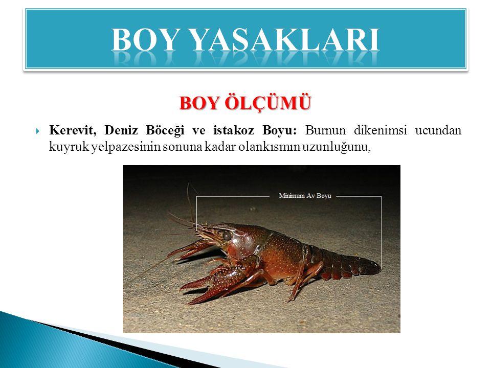  Kerevit, Deniz Böceği ve istakoz Boyu: Burnun dikenimsi ucundan kuyruk yelpazesinin sonuna kadar olankısmın uzunluğunu, BOY ÖLÇÜMÜ