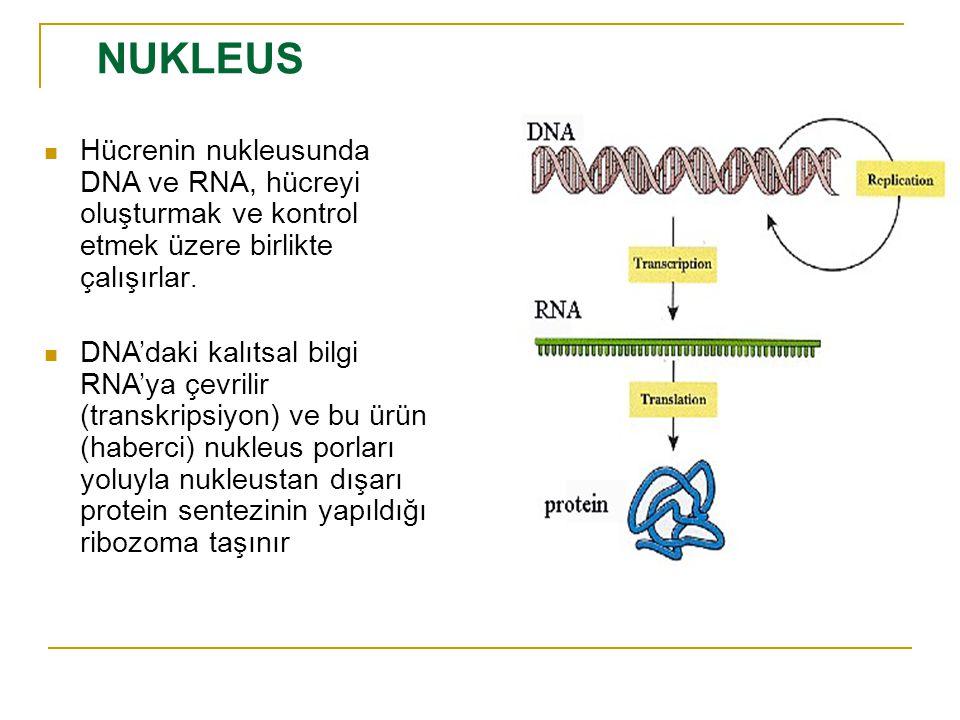 Hücrenin nukleusunda DNA ve RNA, hücreyi oluşturmak ve kontrol etmek üzere birlikte çalışırlar.
