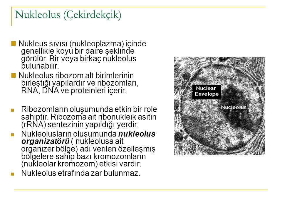Nukleolus (Çekirdekçik) Nukleus sıvısı (nukleoplazma) içinde genellikle koyu bir daire şeklinde görülür.