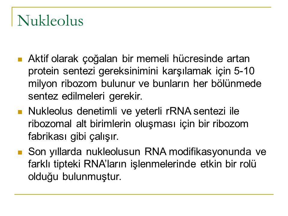 Nukleolus Aktif olarak çoğalan bir memeli hücresinde artan protein sentezi gereksinimini karşılamak için 5-10 milyon ribozom bulunur ve bunların her bölünmede sentez edilmeleri gerekir.
