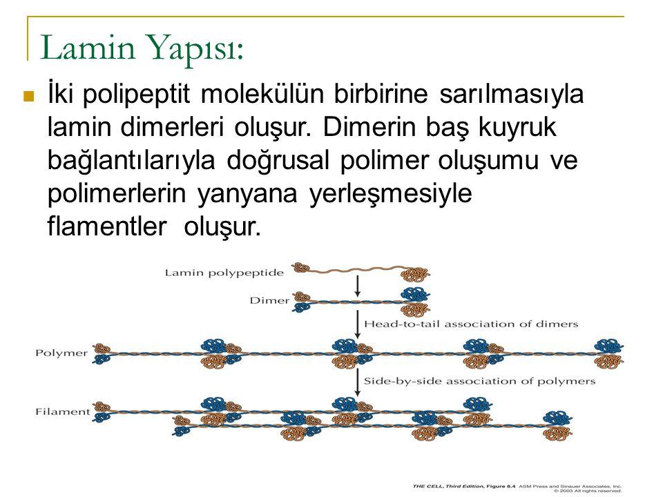 Lamin Yapısı: İki polipeptit molekülün birbirine sarılmasıyla lamin dimerleri oluşur.