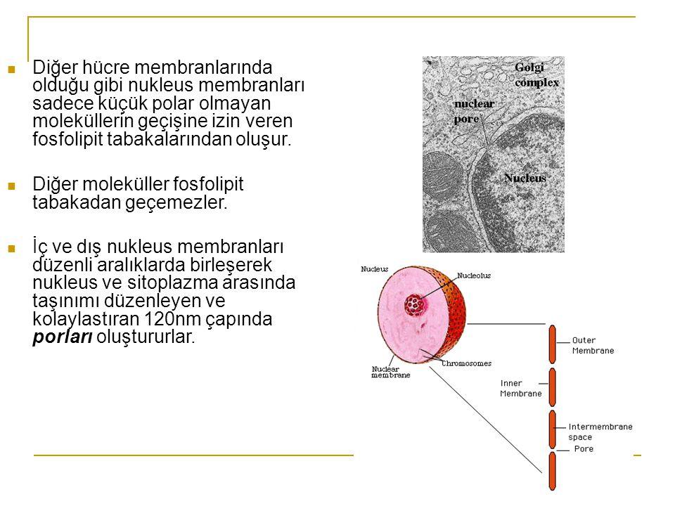 Diğer hücre membranlarında olduğu gibi nukleus membranları sadece küçük polar olmayan moleküllerin geçişine izin veren fosfolipit tabakalarından oluşur.