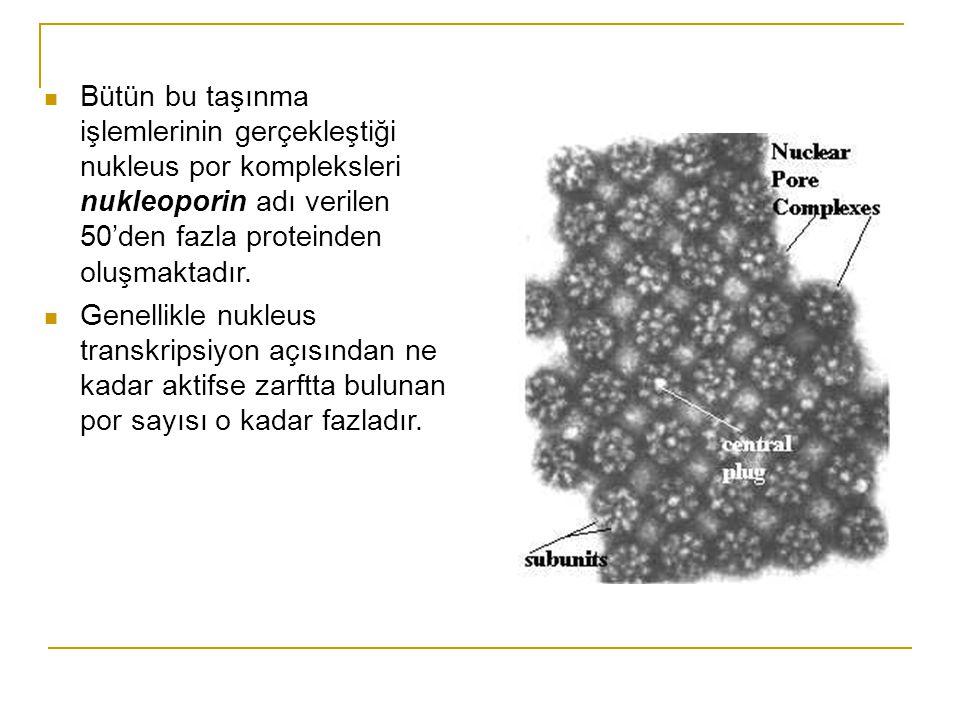 Bütün bu taşınma işlemlerinin gerçekleştiği nukleus por kompleksleri nukleoporin adı verilen 50'den fazla proteinden oluşmaktadır.