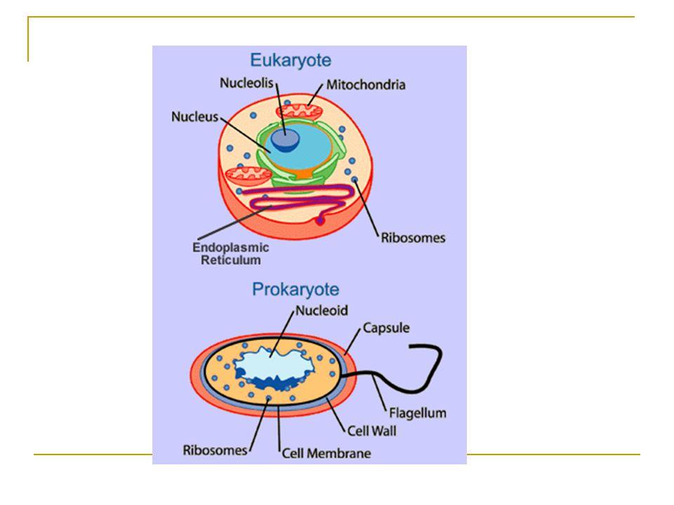 Organeller Yapı ve Fonksiyonları Endoplazmik Retikulum Ayşegül TOPAL SARIKAYA