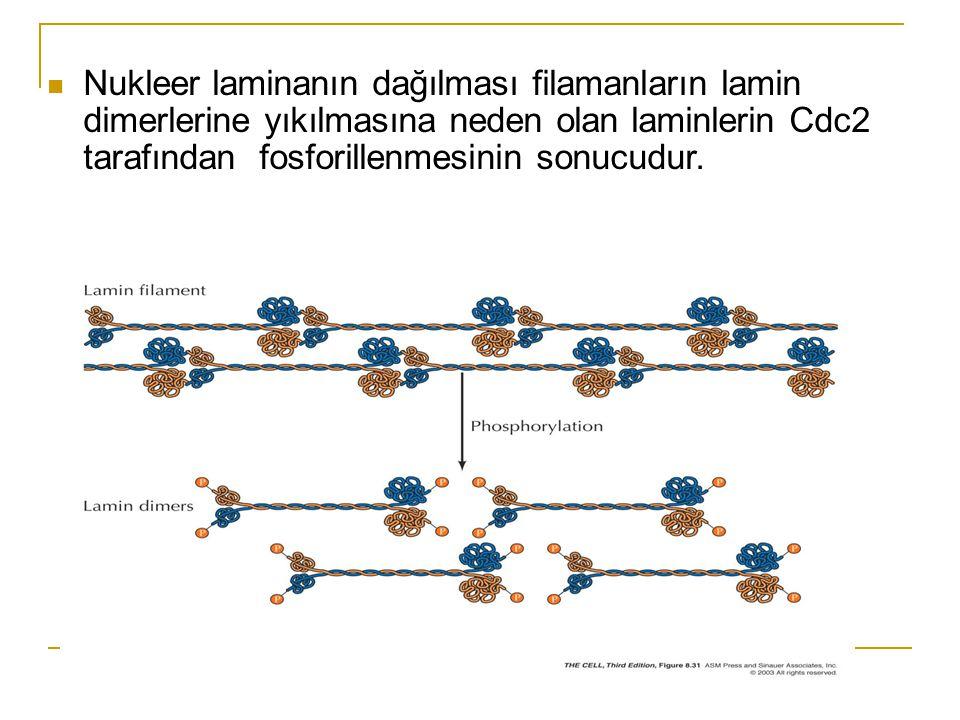 Nukleer laminanın dağılması filamanların lamin dimerlerine yıkılmasına neden olan laminlerin Cdc2 tarafından fosforillenmesinin sonucudur.