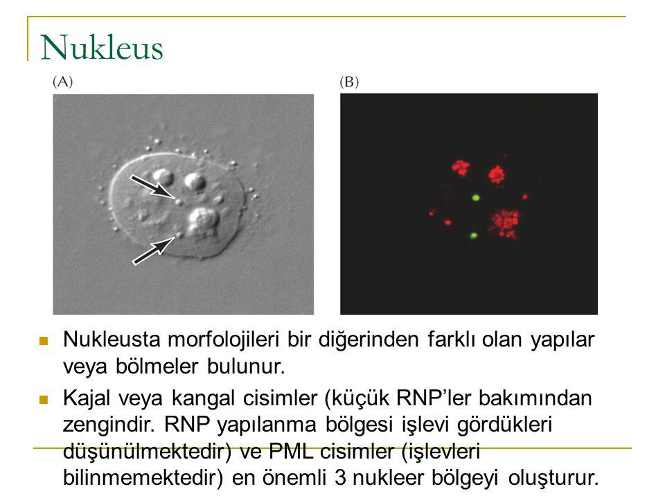 Nukleus Nukleusta morfolojileri bir diğerinden farklı olan yapılar veya bölmeler bulunur.